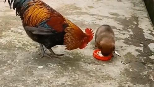 狗狗:大公鸡要抢我的饭,妈妈,我快顶不住了,快来救我!