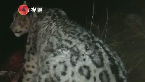 实拍!雪豹夜闯青海牧民家里捕食牦牛