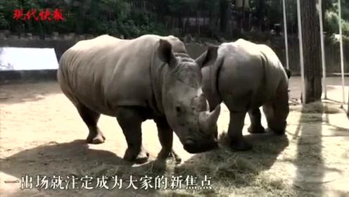 体型庞大内心软萌:南京来了三只白犀牛