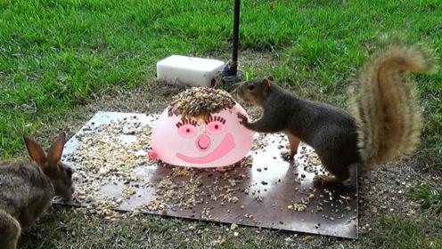 在装满水的气球上放置坚果,小松鼠吃得正欢,突然水球炸裂