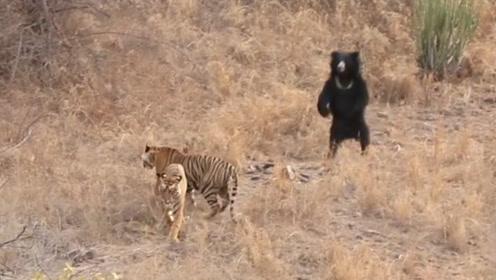 老虎想偷袭黑熊,不料被熊追不是我瞧不起来,你打的过我吗?