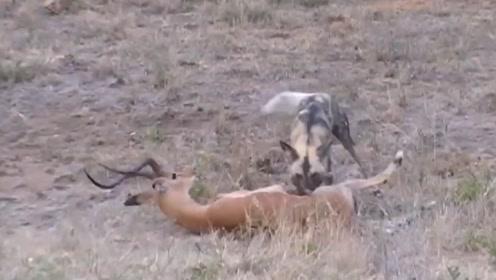 羚羊被野狗开膛破肚后,还能站起来与之反抗,强大的生命力令人折服