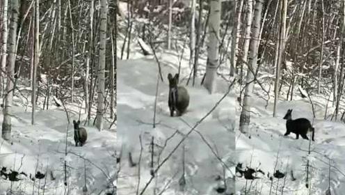 罕见原麝现身大兴安岭雪地,首次在林区被手机拍下