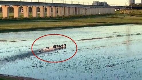 求生欲爆棚!实拍:强台风侵袭日本 野猪群翻山过河一路狂奔避难