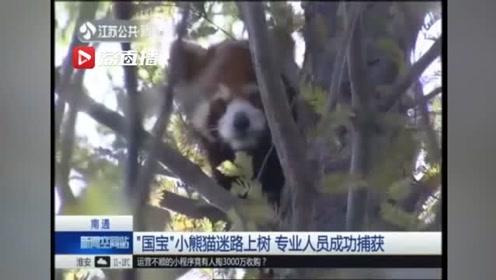 家门口发现一只小动物 不像猫不像狗 动物园工作人员一看:这是小熊猫!