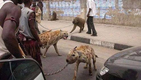 看到非洲人养的鬣狗后,再看看自家的宠物狗二哈,简直是弱爆啦!
