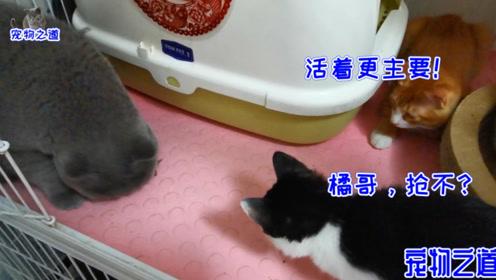 主人给全家猫分零食,几只小馋猫想抢厉害母猫的,结果全被揍了