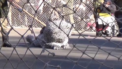 日本动物园上演老虎逃跑,只为演给老虎看?网友:老虎给点面子!