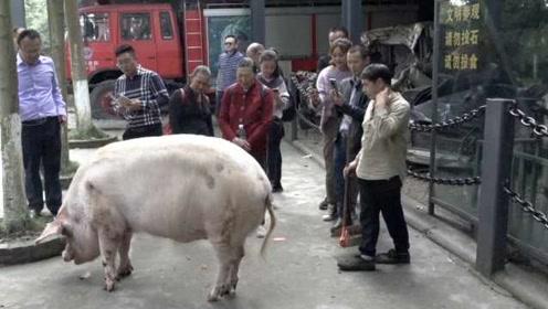 12岁猪坚强的本命年:步履蹒跚翻身困难,512地震后年年长疮
