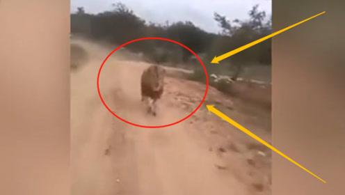 """现场惊险!旅行团坐游览车在动物园参观,惨遭雄狮疯狂""""追杀""""!"""