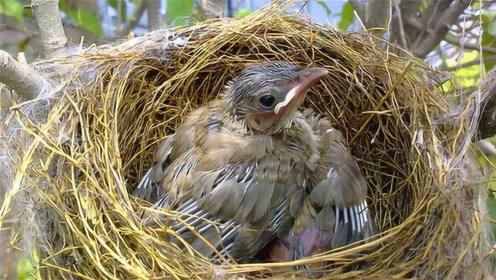 野外鸟巢窝口全部朝上,万一下大暴雨怎么办?原来鸟儿智慧这么高!
