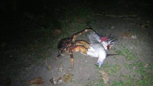 海鸥被椰子蟹夹住,在沙滩上垂死挣扎,小伙走近一看乐坏了