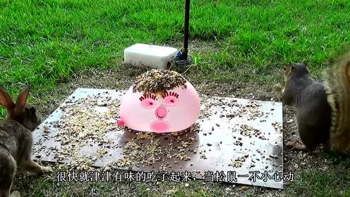坚果放在装满水的气球上,松鼠吃得正欢突然炸裂,这是人干的事吗
