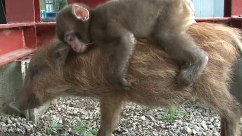 猴子把野猪当妈妈,每天骑野猪兜风,每天吸引成千游客围观!