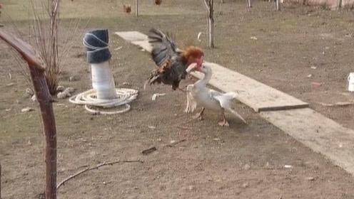 公鸡和大鹅打架,乡村恶霸谁更厉害?今天才分出谁是老大!