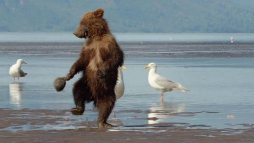 小棕熊被河蚌夹住了手,提着河蚌到处找妈妈,太可爱了