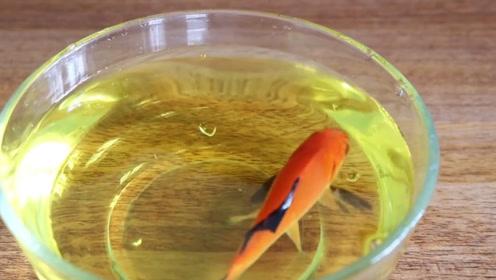 老外疯狂实验,把金鱼放在不同的饮料中,危害最大的饮料居然是它