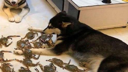 哈士奇拆家,主人一怒之下买回两斤螃蟹,二哈立马怂了!