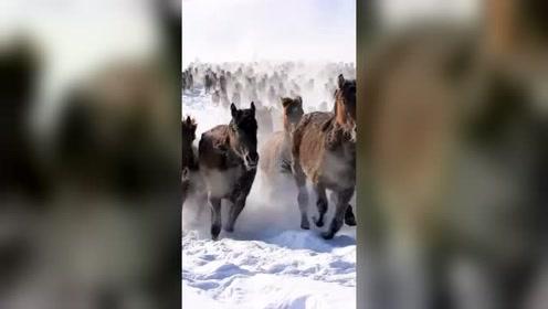 雪原上万马奔腾,这画面看着真壮观!