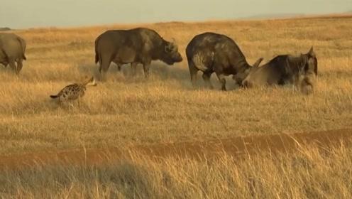 逃命的角马闯入水牛的地盘,本以为是场救赎,然而却是一场杀戮