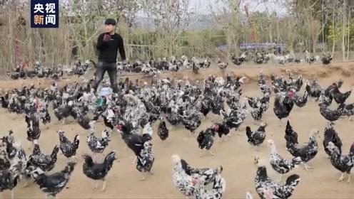 """95后小伙回乡创业 花式养鸡成""""网红司令"""""""