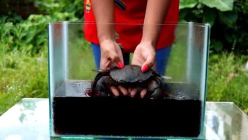 老外用可乐和曼妥思煮螃蟹!两斤重螃蟹煮的通红,这还能喝吗