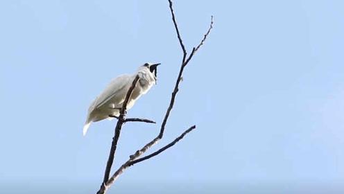 鸟类男高音!科学家发现叫声最大的鸟,是雄鸟在求偶