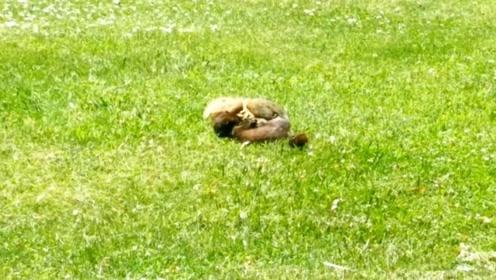 鼠类杀手黄鼠狼,和松鼠的第一个正式交锋,直接秒杀它