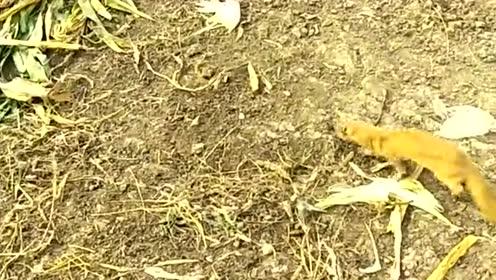 农村偶遇奇葩事,一只黄鼠狼跑到鸡群,居然怂着离开了!