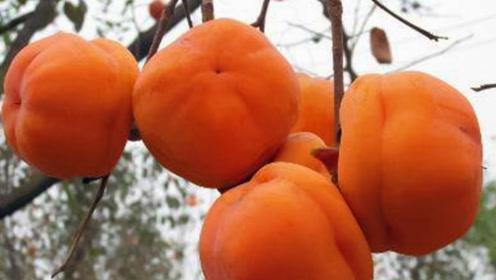 倍儿健康:秋吃柿子补VC有好处 不能同食是谣言