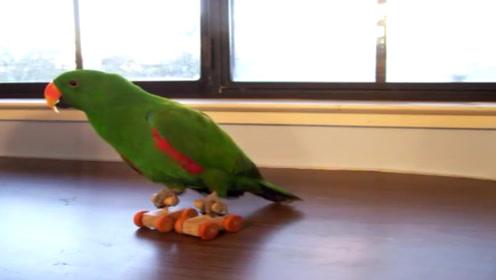 """给鹦鹉造的""""轮滑鞋"""",看起来像玩具车,玩起来爱不释手"""