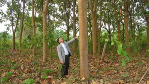 世界上最轻的木头,8岁小孩就能抱起10米巨树,老外用它造飞机大炮!