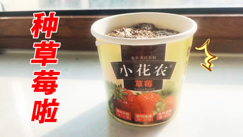 卷卷变身小花农,买了一个迷你小盆栽,这下在阳台上也能种草莓啦