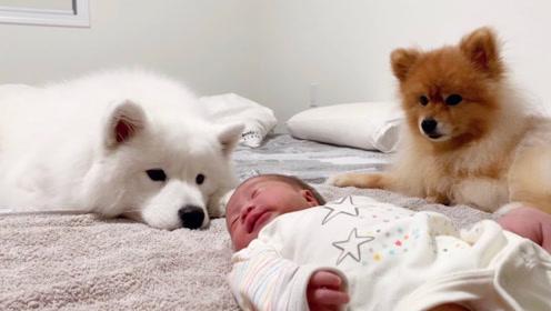 狗狗对刚出生的小主人会有什么反应,不愧是人类最好的朋友!