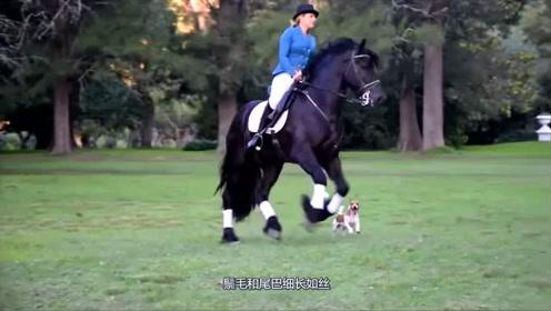 这些马是马中的美男子,个个能走出六亲不认的步伐