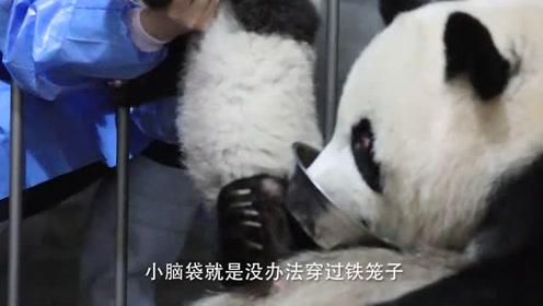 饲养员偷抱熊猫险些被抓包,原因居然这么搞笑,原谅我不厚道的笑了
