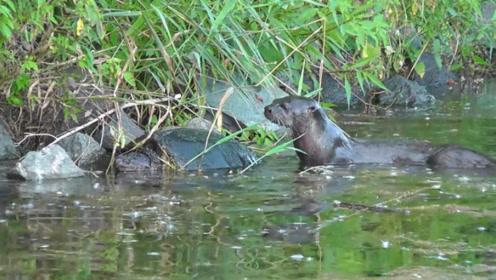 乌龟的天敌终于出现,碰上这种动物,连壳子都直接吃掉!
