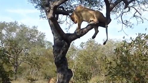 狮子捉水牛反被牛群追杀,竟被逼的爬树保命,镜头拍下搞笑场面
