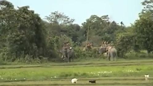 男子在大象背上以为很安全,结果稻田中冲出老虎,直接扑向他