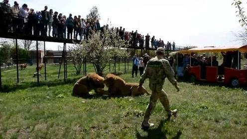 动物园里两头狮子打架,把游客的观光车都撞了,难道也是表演?