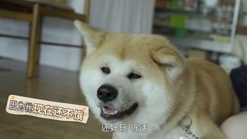 原来你是这样的秋田犬!小姐姐到日本撸狗反遭狗嫌弃?