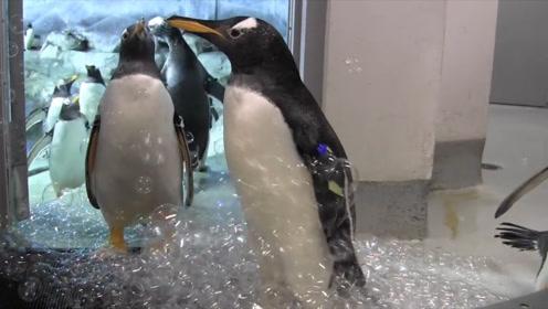 小企鹅没见过世面,追着泡泡一直戳,游客拍下搞笑画面