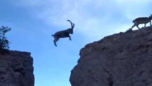 6只羚羊飞渡万丈悬崖,最后一只才是王者,镜头记录惊险过程!