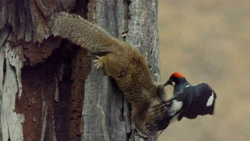 松鼠看到树洞都是松果,一脸嘚瑟忘形,却不知为何被啄木鸟狂啄!