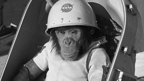 第一只被送上太空的猩猩现在怎样了?首位猩猩宇航员哈姆的故事