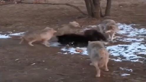 藏獒王在树下休息,4只野狼将它包围,这下有好戏看了