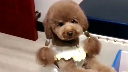 泰迪玛丽不让胖妞抱狗宝,胖妞竟推着小车把狗宝全偷走,太逗了
