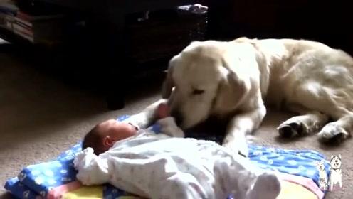 主人让金毛看着刚满月的宝宝,说实话没见过看孩子这么细心的狗子