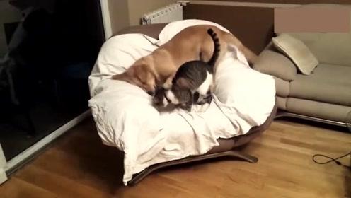 猫咪一下锁喉狗狗,谁料狗狗一个反扑,局面瞬间反转