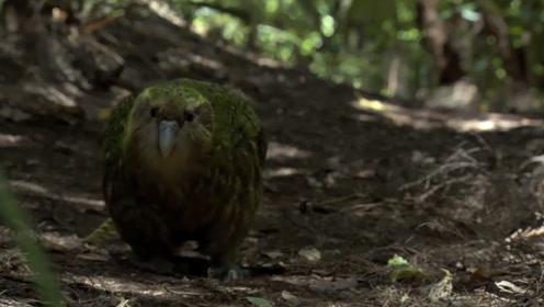 世界上最蠢的鸟,有翅膀却不会飞,还经常把老鼠当求偶对象